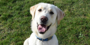 Labrador sable mâle
