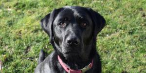 Labrador femelle noire