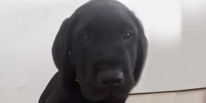 Ninja, petit labrador noir