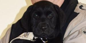 Najou, labrador noir avec sa famille d'accueil