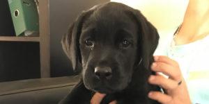osmoz, petit labrador noir dans les mains de Stéphane notre moniteur