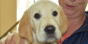 labrador golden sable