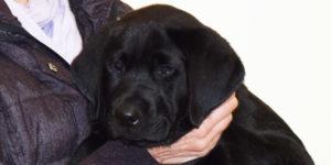 Okland labrador mâle noir dans les bras de sa famille d'accueil