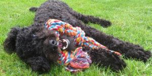 Ouessant, caniche noir, allongé dans l'herbe avec un jouet en corde dans la bouche