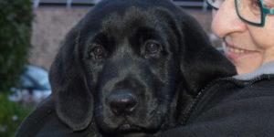 Opale, labrador noir