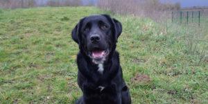 Oliday, labrador noir avec tache blanche au menton