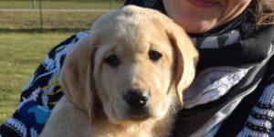 Labrador mâle sable