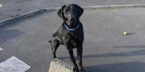 Labrador noir mâle