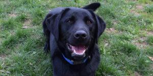 labrador mâle noir couché dans l'herbe avec la gueule ouverte