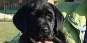 labrador mâle noir