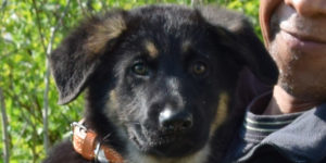 petit mâle berger allemand noir