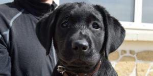 Petite labrador femelle noire