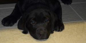 pop, chiot labrador noir allongté sur le carrelage de l'infirmerie