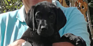patafix labrador golden femelle noire dans les bras de sa famille d'accueil