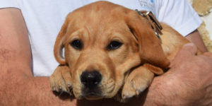 Pépito, chiot labrador roux dans les bras de sa famille d'accueil