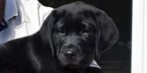Pacman labrador mâle noire dans les bras de sa famille d'accueil