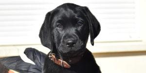 Pastel labrador femelle noire dans les bras de sa famille d'accueil