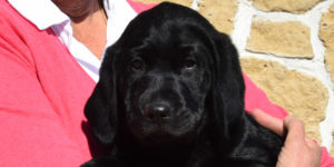 Phénix labrador mâle noire dans les bras de sa famille d'accueil
