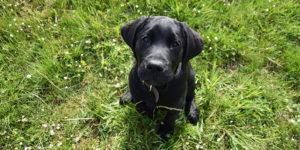 Rio, chiot labrador noir, assis dans l'herbe qui regarde vers le haut