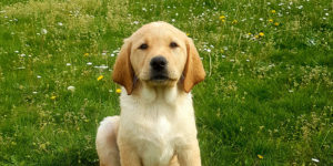 Rocket, labrador sable, assise dans l'herbe
