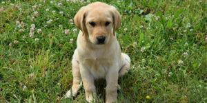 Rune, labrador sable, assise dans l'herbe