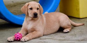 Rustine, labrador sable, couchée avec une balle au milieu de ses pattes avant