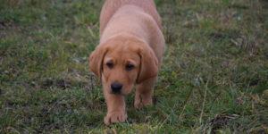 Labrador roux qui marche dans l'herbe
