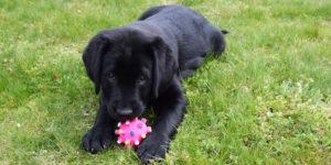 Stepp labrador noir femelle