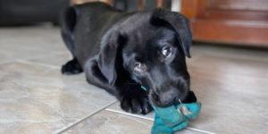 scoop chiot labrador noir est couché et joue avec son jouet
