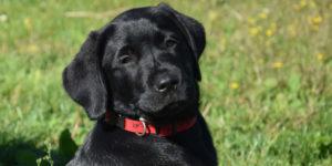 Sirius chiot labrador noir