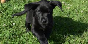 Silkie chiot labrador femelle noir